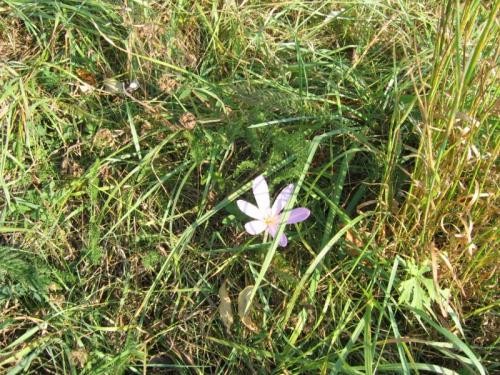 Výskyt ocúnu jesenního vjednom  zlišanských přírodních biotopů